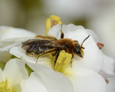 Abeille sauvage et pollen